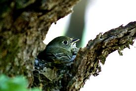 Cordilleran Flycatcher (Courtesy Joseph Fontaine)