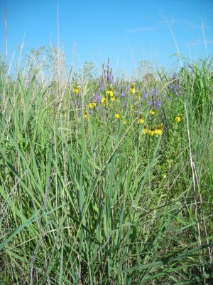Prairie restoration photo of grasses