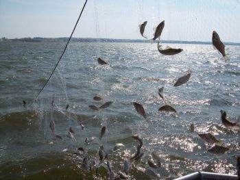 Netting fish out of Branched Oak lake for population assessment