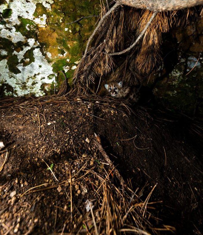 Mountain lion den under a rock overhang. Photo, Justin Haag, NEBRASKAland Magazine