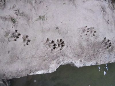 Otter tracks found beneath a bridge (courtesy: Nathan Bieber)