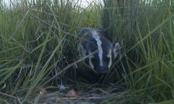 Badger depredating an artifical nest (courtesy: Victoria Simonsen)