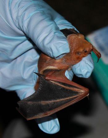 Bat caught in a mist net