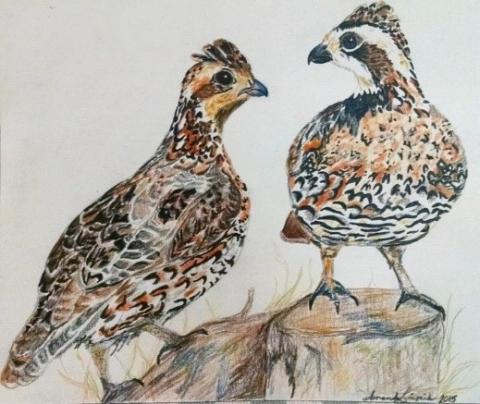Bobwhite quail (Art: Mandy Lipinski)