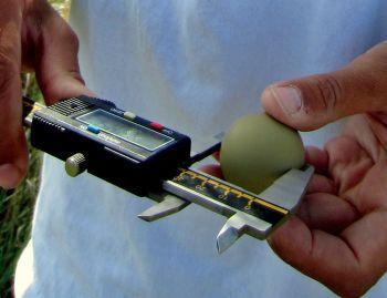 Measuring pheasant eggs (photo courtesy: Lindsey Messinger)