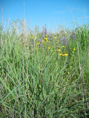 Prairie restoration photo of grasses