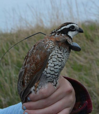 Bobwhite quail with transmitter. Photo: Mandy Lipinski