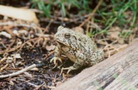 Toad from amphibian study (courtesy of Valerie Egger)
