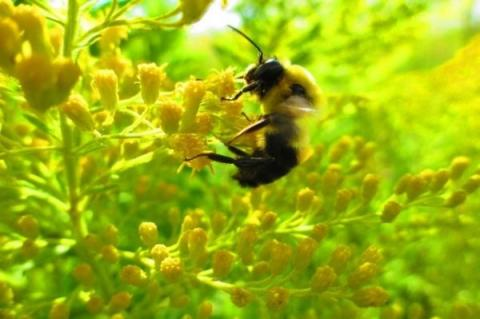 A Male bee (Bombus griseocollis) on goldenrod (Solidago canadensis). Photo: Bethany Teeters