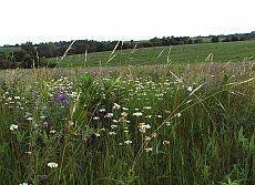 Grassland Wildflowers