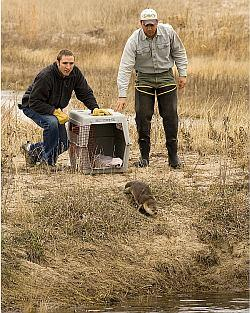 Sam Wilson and Kent Fricke releasing an implanted otter