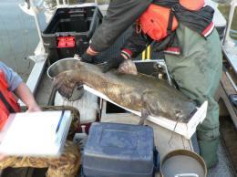 Shocking catfish